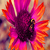 Bee and sunflower in gard…