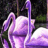 Purple swans in the lake …